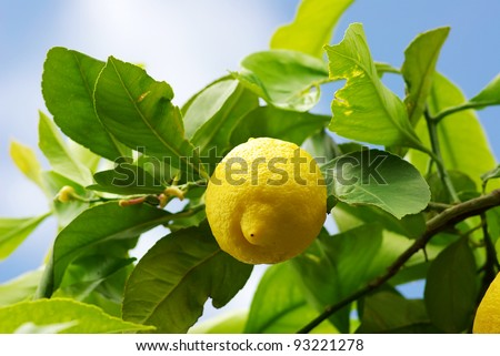 Yellow lemon on lemon tree. - stock photo