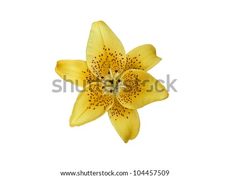 Yellow lilly flower isolated on white - stock photo