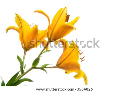 yellow lilly flower on white background - stock photo