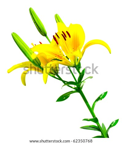 yellow Lilly isolated over white background - stock photo
