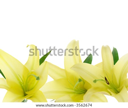 yellow lily as border on white background