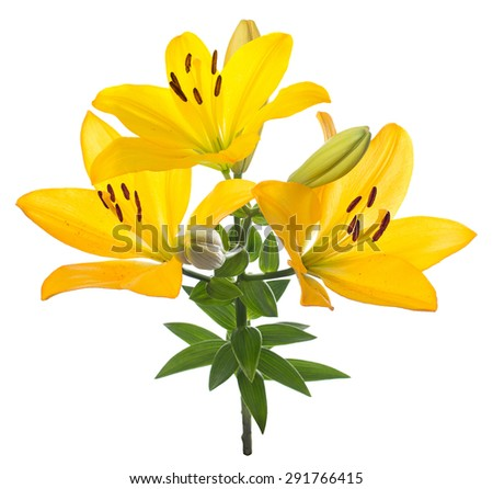 Yellow lily flower. Isolated.