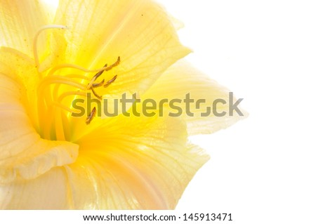 Yellow lily head flower isolated on white background