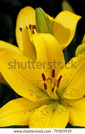 yellow lily, Lilium - stock photo