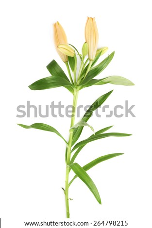 Yellow lily lilium flower isolated over the white background - stock photo