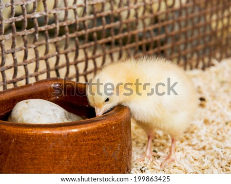 Yellow little chick is fed from a bowl.
