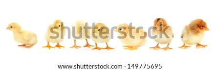 Yellow little chickens isolated on  white