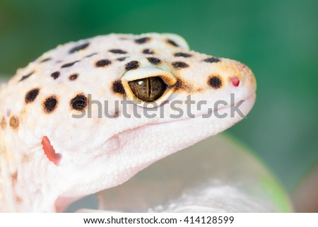 Yellow lizard with black spots. Toned - stock photo