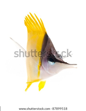yellow longnose butterflyfish isolated on white background - stock photo