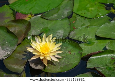 Yellow lotus blooming in the pond - stock photo