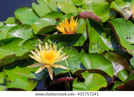 yellow lotus blooming in the pool - stock photo