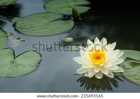Yellow Lotus flower and  Lotus flower plants - stock photo
