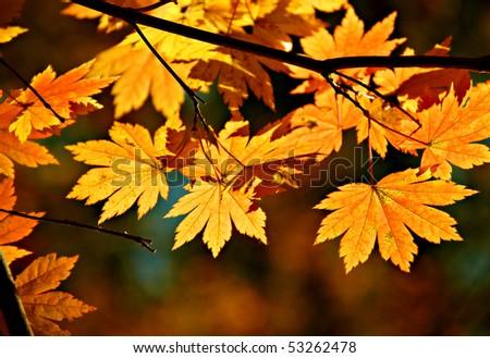 Yellow maple, autumnal ornament - stock photo
