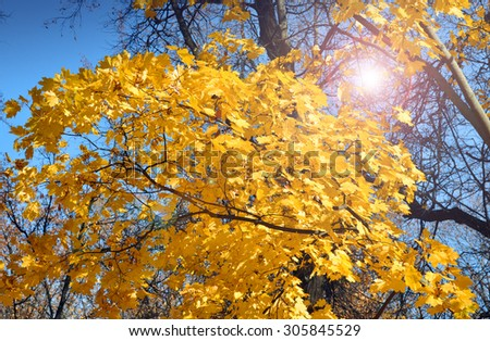 Yellow maple during sunshine day - stock photo
