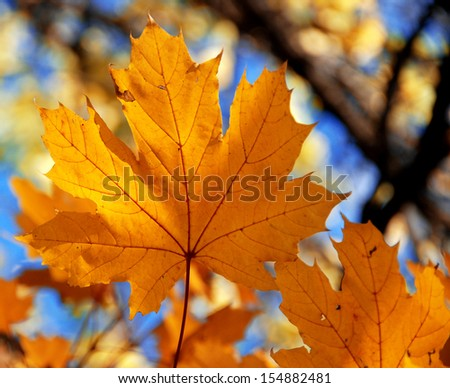 Yellow maple leaf - stock photo