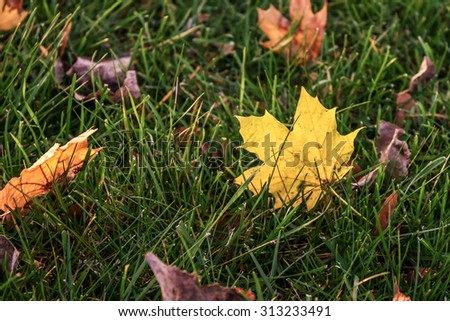 Yellow Maple leaf back-lit by sunlight. Leaves fallen on grass during Fall season. - stock photo