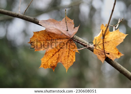 yellow maple leaf hangs on a branch in the forest - stock photo