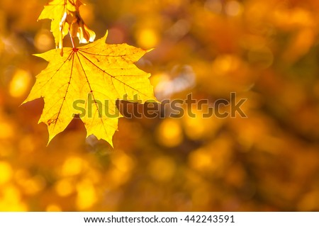 Yellow maple leaf in focus against blurred orange background; Indian summer; Autumnal coloring; The last warm days of autumn; Acer