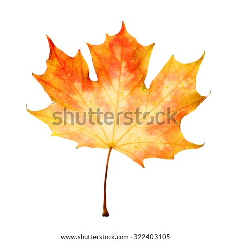 Yellow Maple Leaf Isolated. Autumn Concept - stock photo
