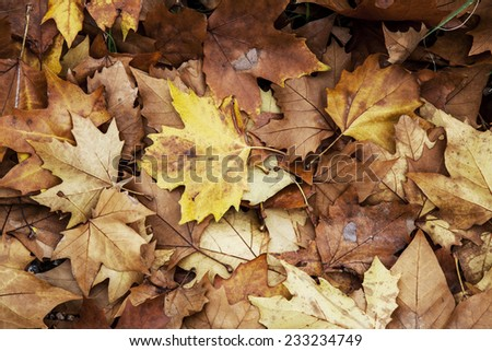 Yellow maple leaf on a heap of leaves - stock photo