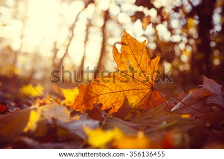 Yellow maple leaf on the ground in autumn sunlight - stock photo