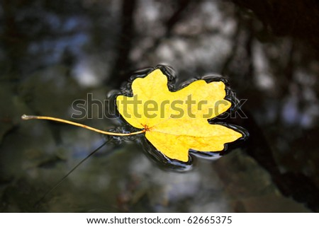 Yellow maple leaf to swim on the water - stock photo