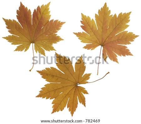 set colorful oak leaves isolated on stock photo 73879981