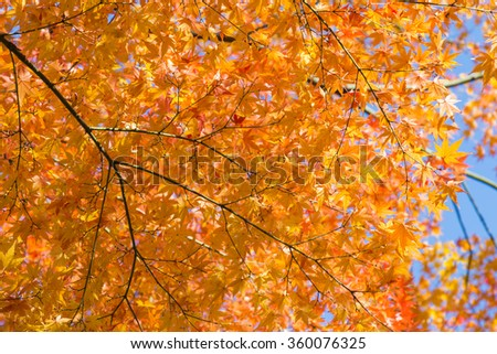 Yellow maple leaves, Autumn Season