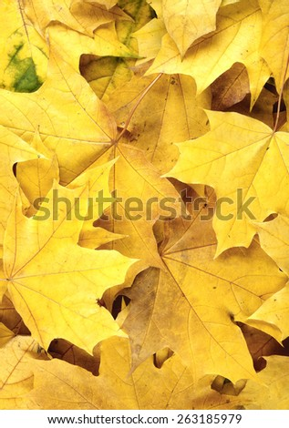 Yellow maple leaves background  - stock photo