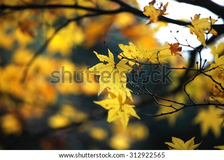Yellow maple leaves changing color - stock photo