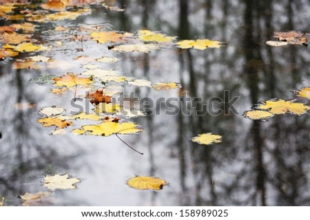yellow maple leaves floating on the surface of water - stock photo