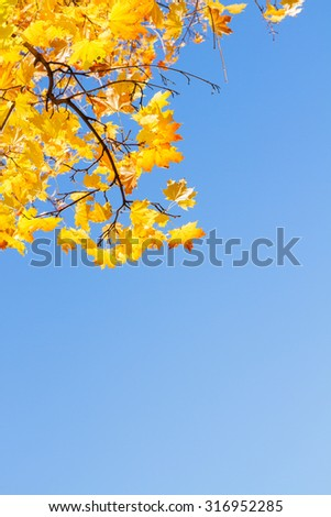 yellow maple leaves in  autumn park , copy space on bright blue sky  - stock photo
