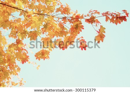 yellow maple leaves in  autumn park on bright blue sky background, retro toned - stock photo
