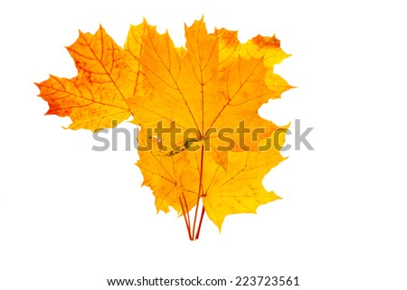 yellow maple leaves on a white background - stock photo