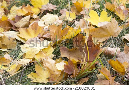 yellow maple leaves on grass - stock photo