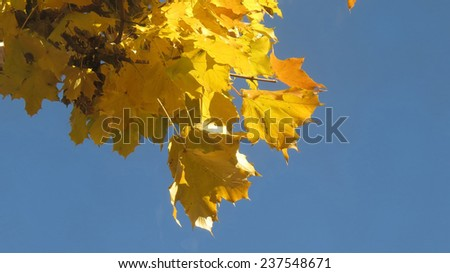 Yellow maples leaves in autumn with blue sky copy space - stock photo