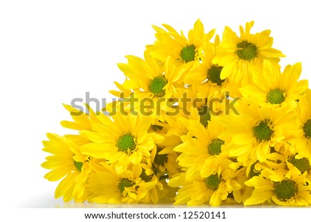 Yellow marguerites on a white background - stock photo