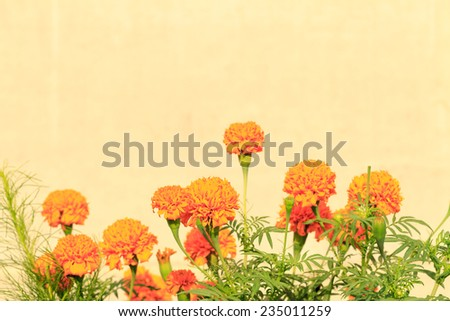 Yellow Marigold Flowers on yellow background - stock photo