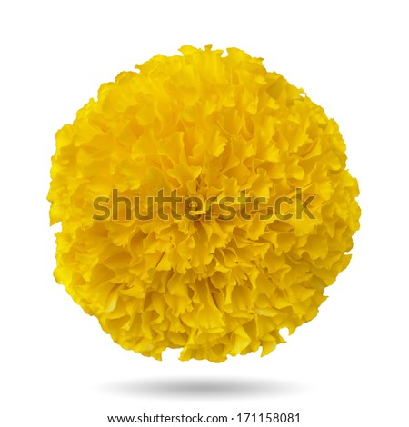 Yellow marigold. Isolated on a white background with clipping paths. - stock photo