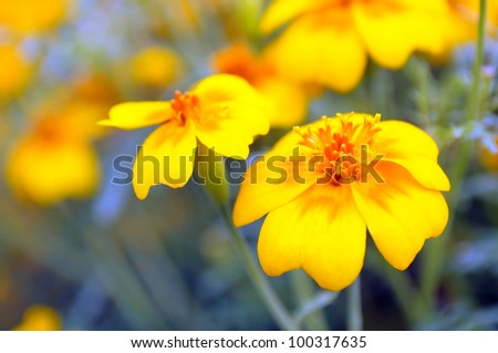 Yellow Marigold (Tagetes) Flower on Flower Bed - stock photo