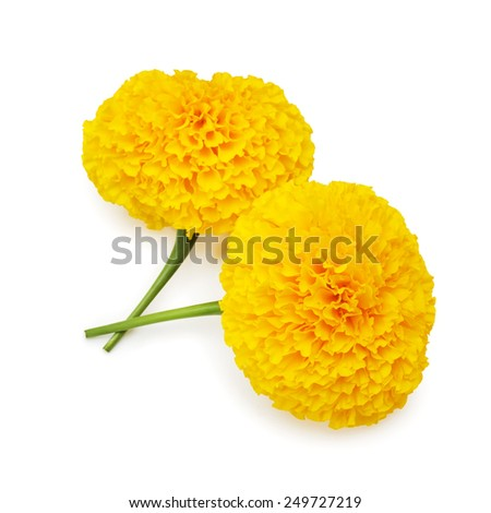 Yellow Marigold wiht isolated on white background - stock photo