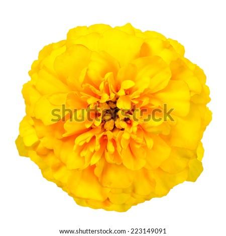 Yellow Marigold Wild Flower Isolated on White Background. Beautiful Flower - stock photo