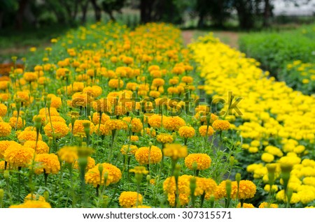 Yellow marigolds blooming in the garden - stock photo