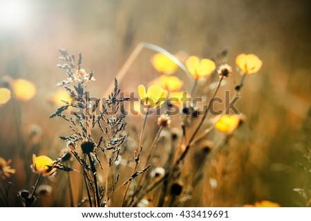 Yellow meadow flowers - buttercup flower - stock photo
