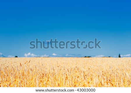 Yellow meadow of the wheat on the farmland - stock photo