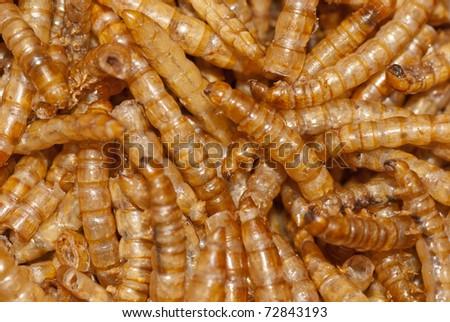 yellow meal worm flour beetle - stock photo