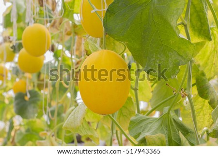yellow melons growing in a greenhouse supported by string.