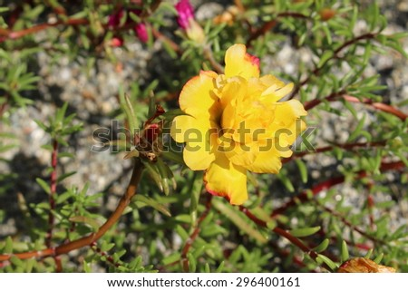 """Yellow """"Mexican Rose"""" (or Rock Rose, Sun Rose, Moss Rose, Moss-Rose Purslane, Eleven Oclock) in Innsbruck, Austria. Its scientific name is Portulaca Grandiflora, native to south America and Europe. - stock photo"""