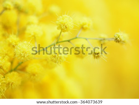 Yellow mimosa flower close-up. very shallow depth of field - stock photo