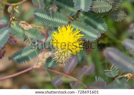 Yellow mimosa pudica flower leaves background stock photo edit now yellow mimosa pudica flower and leaves in the background sensitive plant or sleepy plant or mightylinksfo